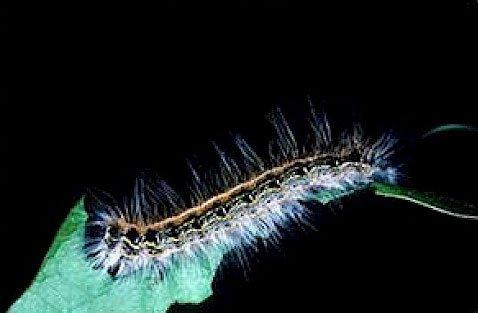 Eastern Tent Caterpillar Close Up