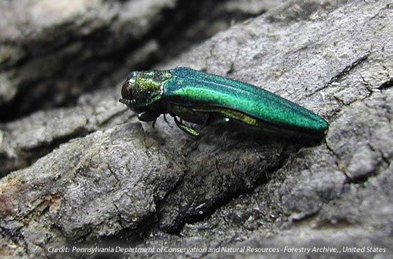 Emerald Ash Borer Close Up