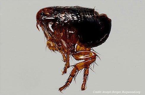 Fleas, Ticks, & Lyme Disease