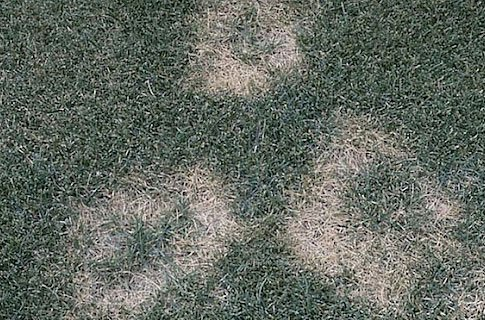 Fusarium Blight Example