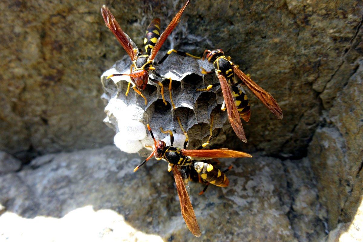 Hornet Building Nest