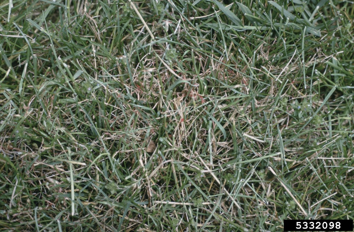 Red Thread in Grass